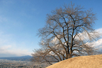 八代町ふるさと公園[山梨県笛吹市] 甲州蚕影桜