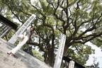 尾道・艮(うしとら)神社境内のご神木である楠は、尾道市の天然記念物にも指定されている。推定樹齢900年とも。